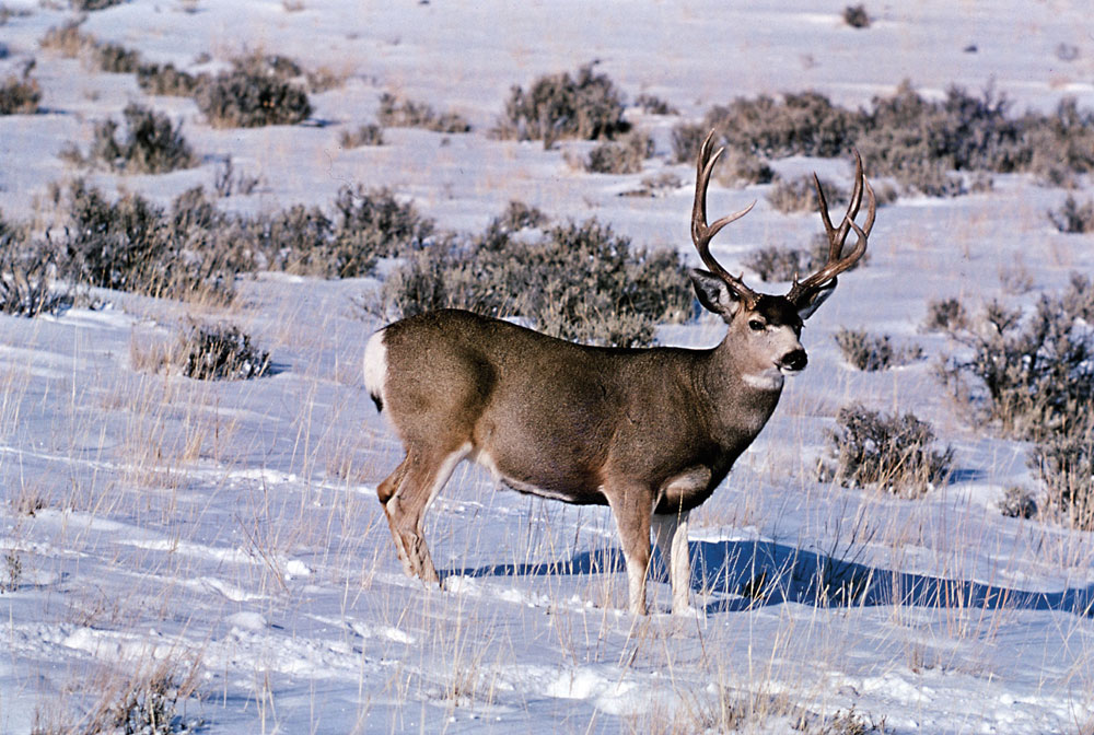 new mexico mule deer hunts 7