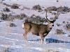 new mexico mule deer hunts 7